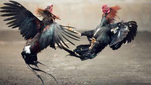 Judi S128 Sabung Ayam Pukul Mati Online